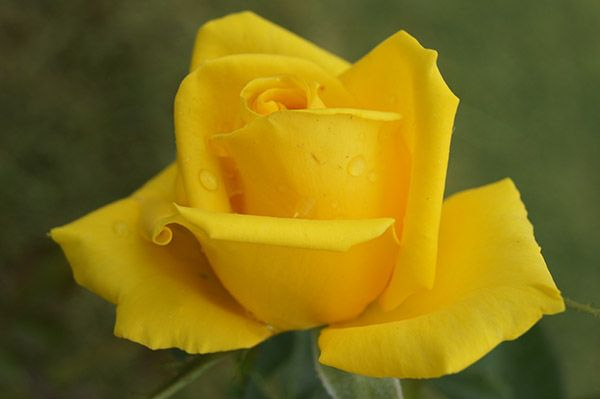 The Yellow | Yellow roses, often regarded as Tea Roses, have the stigma of being extremely sensitive to heat and rain. As the name of this new variety states, it produces large shapely blooms with firm petals of a true, virtually unfading yellow. The bush is vigorous, clothed in glossy deep green, disease resistant foliage and produces long lasting blooms on sturdy stems with few prickles. The request we receive so often, for advice on the selection of a good yellow picking rose, will…