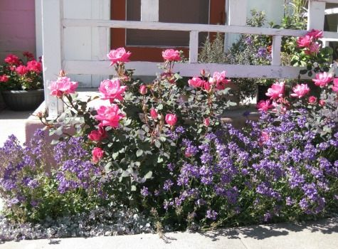 Bluebird perennial with knockout rose.  Very nice idea.