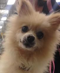 Samantha (Sammy) is an adoptable Pomeranian Dog in Baton Rouge, LA. Sammy is a sweet lap dog that was one of too many animals so they had to go per the landlord.� She is being fostered with several ot...