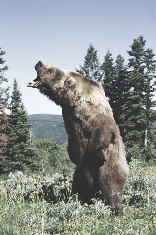 grizzly bear roar awesome wild beasts pinterest