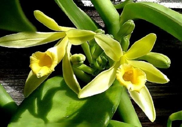 fiori di #vaniglia