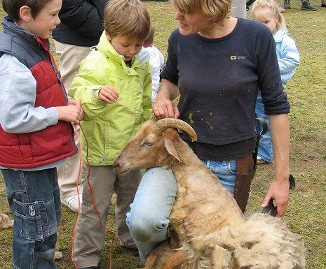 Bij de Schaapskooi in Blaricum kun je zien hoe de schaapjes geschoren worden! #diere #schapen #kinderen