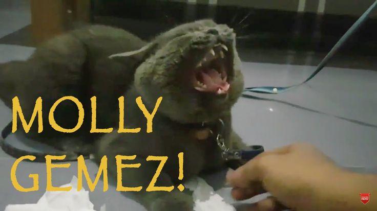 Akhir-akhir ini Molly suka kabur jauh banget biasanya menjelang subuh git baru pulang (karena lapar) jadi dengan terpaksa kami kasih tali deh.. Kasihan sih tapi demi keselamatan Molly juga... Oh iya kemarin malam sepulang dari Madiun aku iseng ajak Molly main-main tuh.. Dia paling demen main tisyu dan diacak-acak sampe hancur. duh! tapi itu serunya apalagi kalo tangan kita dicakar dan digigit kucing. Nikmat banget deh.. geli geli sedikit perih :D tapi emang gitu mainannya kucing…