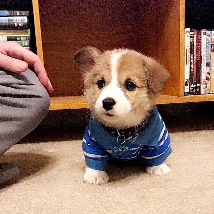 Pin By Joseph Boza On Corgis Corgi Cute Corgi Dog Pictures