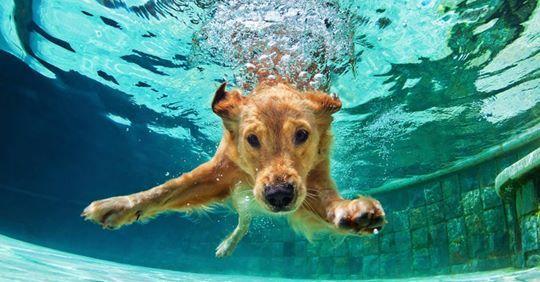 Pin By Karen Janson Ms Md Publishe On Jacksonville Florida Dog Swimming Labrador Retriever Puppies Labrador Dog