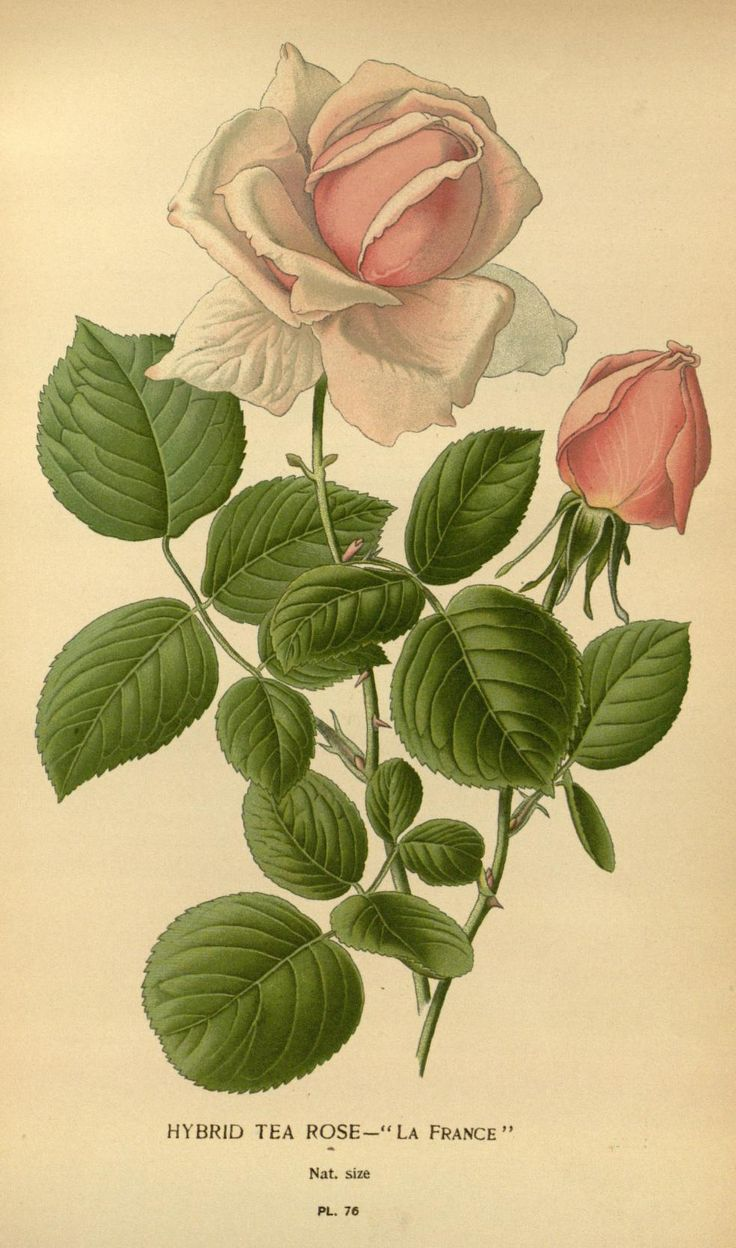 v. 1 - Favourite flowers of garden and greenhouse / - Biodiversity Heritage Library