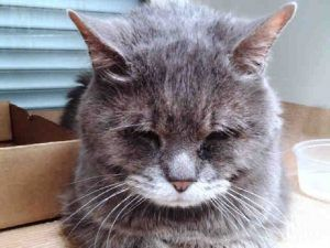 MITTENS WAS DUMPED BY OWNER - NEGLECT - vet bills paid if you foster! - will be killed! - 10 YRS OLD AND HAS INGROWN NAILS, A DERMAL MASS THAT IS INFECTED - NICE CAT WHO DID NOT LIKE BEING EXAMINED MOST LIKELY DUE TO PAIN OR DISCOMFORT.  NEEDS RESCUE ASAP!