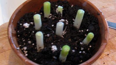 Plant the cut off root tips of green onions to continue their growth and harvest more later without buying more.