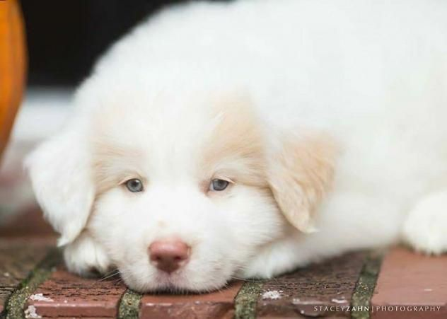 ●11•26•16 SL●CJ is a 11week old male Labrador/Great Pyrenees mix who loves playing in the snow. CJ is available at Big Fluffy Dog Rescue, Denver,CO. Better hurry because his 6 siblings were already adopted!