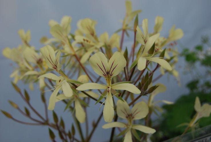 Pelargonium oblongatum. Source: www.perfect-pelargoniums.com