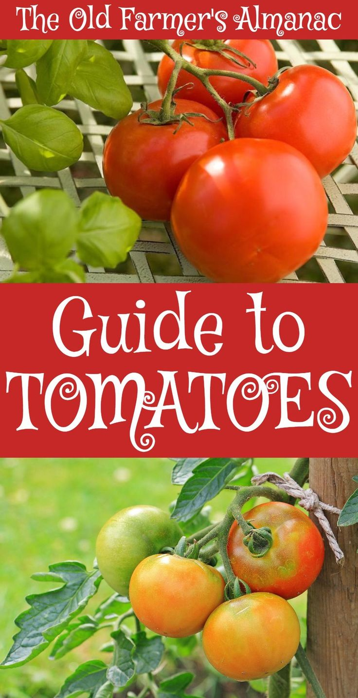 The complete Old Farmer's Almanac guide to the planting, care, growth, harvesting, storing, and eating of the Tomato Plant!