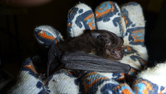 A bat species thought to be long extinct has been caught by researchers in Papua New Guinea, over a century after the first and only specimens were collected.