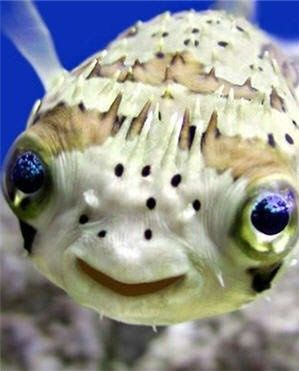 15+ Strange and Beautiful Marine & Semi-aquatic Animals:            Long-spined Porcupinefish Puffer
