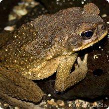 invasive cane toads