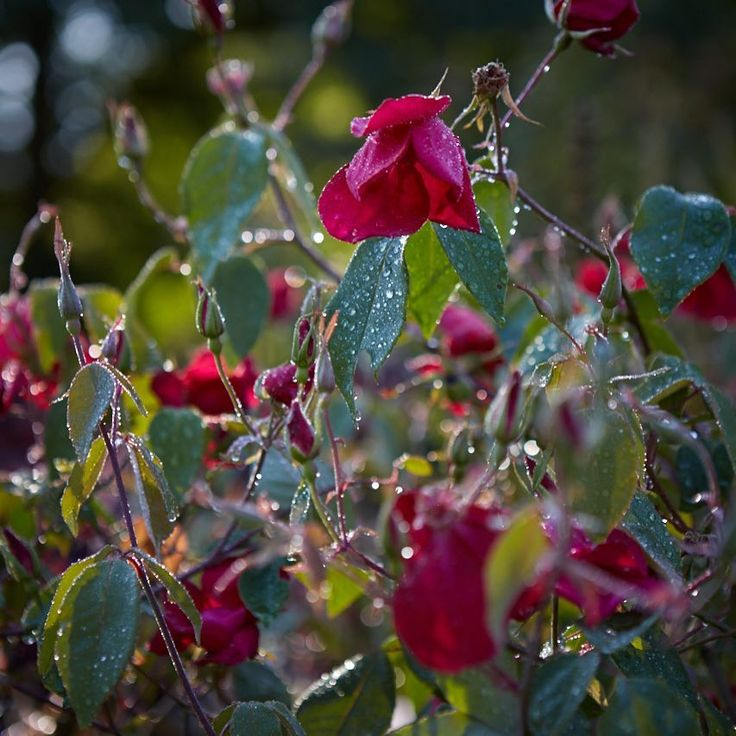 On my way back to Allt y bela from New York today , looking forward to seeing my garden especially this rose in full autumn flush as captured yesterday so beautifully by Britt. The rose is called Bengal crimson