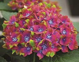 This stunning variety is one of the most eye catching hydrangeas available. This robust, hardy shrub makes a superb addition to borders or large patio containers.