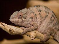 Our Store / Chams / Panther Chams and Chameleons for Sale / Chameleons Panther Locales / Providing Panther Chams for Sale / Chameleons / Cap Est / Nosy Boraha / Radama / Sambava / Masaola / Tamatave / Ankaramy / Ambilobe / Ambanja / Mitsio / Nosy Mitsio / Nosy Faly / Ankify / Antalaha / Import Chams / Export Chams / Captive Bred /Captive Hatch - Boss Status Bullies and Chams - Tri Color American Bully and Panther Chams, Chameleons, Panther Chameleons for Sale, Chameleon Care