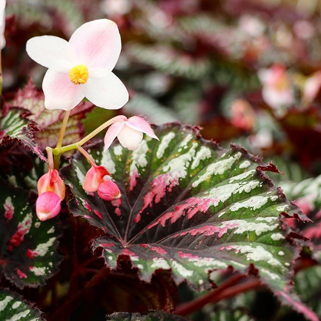 Not Rex Our Begonias Are Bred With High Altitude Semi Tropical Asian Natives To Achieve Greater Cold Tolerance And A Gre Plant Breeding Begonia Nursery
