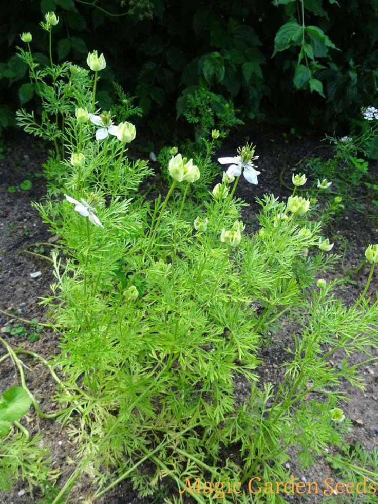 Teekräuter: Tee von Schwarzkümmel (Nigella sativa) beruhigt den Magen. DIY Kräutertee mit Magic Garden Seeds