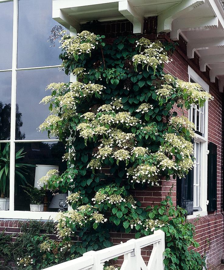 17 beste idee n over klimhortensia op pinterest witte tuinen viburnum opulus en wijnstokken - Wijnstokken pergola ...