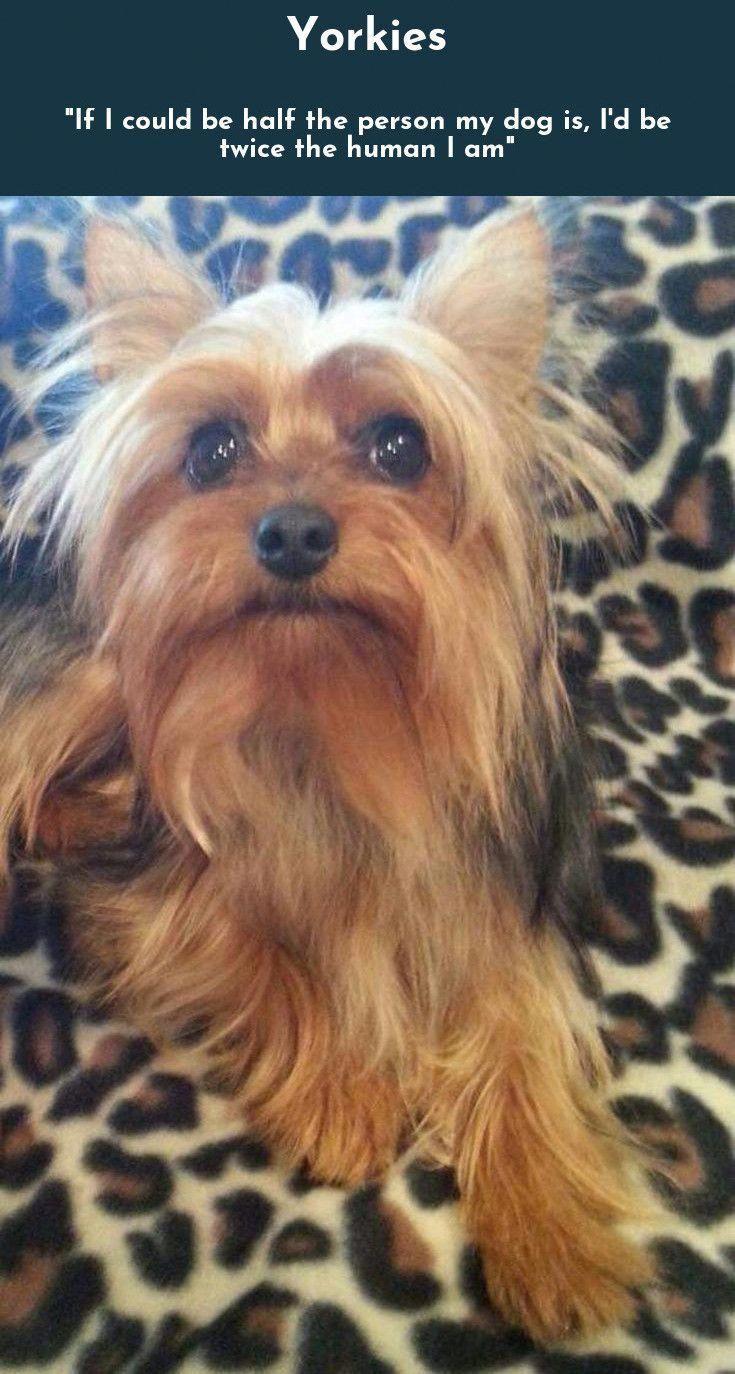 Yorkshire Terrier Yorkshire Terrier Yorkshire Terrier Dog Top Dog Breeds