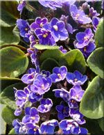 African Violets  Our houseplants greenhouse is awash in African violets! They are small which makes them perfect for windowsills, offices, and dorm rooms. They are also wonderful additions to gift baskets!