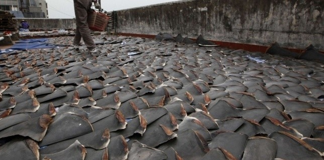 """In Hong-Kong, thousands of ailerons of sharks aired on a roof!  The """"fining"""", a barbaric peach(fishing) consisting in cutting the fin of the still living shark before releasing(relaxing) him(it) being dying in the water. 73 million sharks would be killed there every year - http://www.facebook.com/pages/Protégeons-les-requins/175814582526962"""