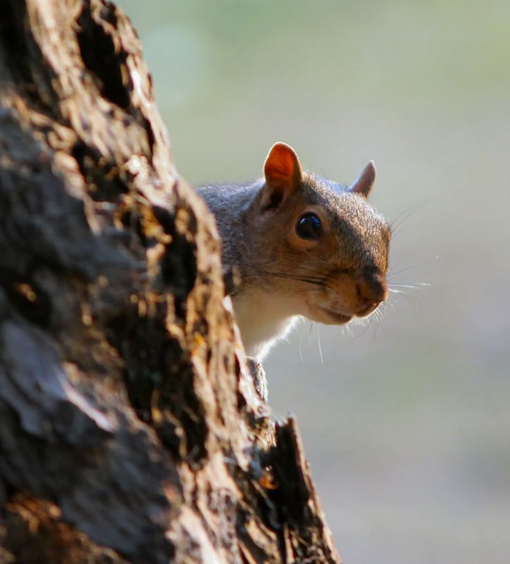 Squirrel Photo i see you:  This Photo was uploaded by octorine. Find other Squirrel pictures and photos or upload your own with Photobucket free image and video ho...
