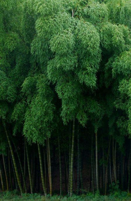 Bamboo | Japan