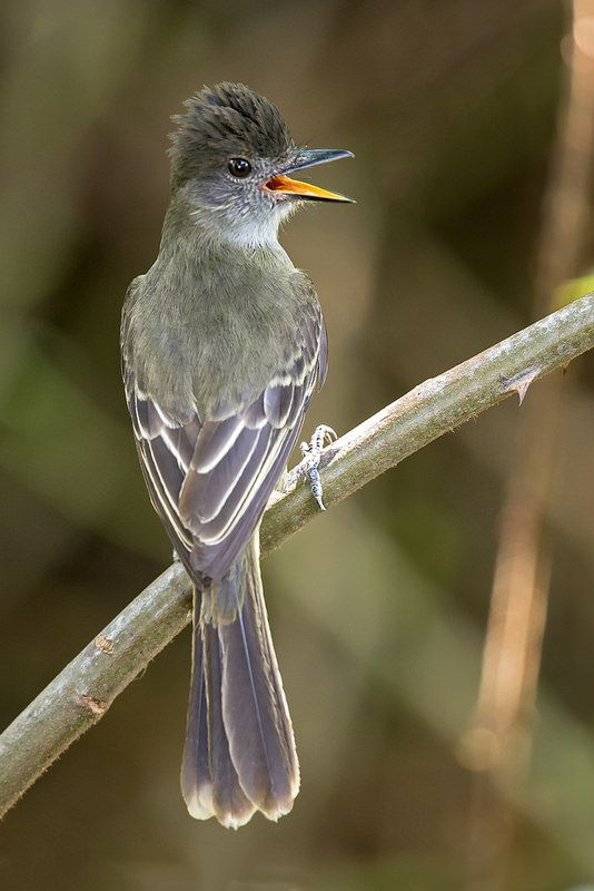 Myiarchus apicalis - Apical Flycatcher - Copetón Apical - Atrapamoscas Apical…