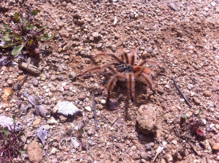Araña pollito, Nahuelbuta