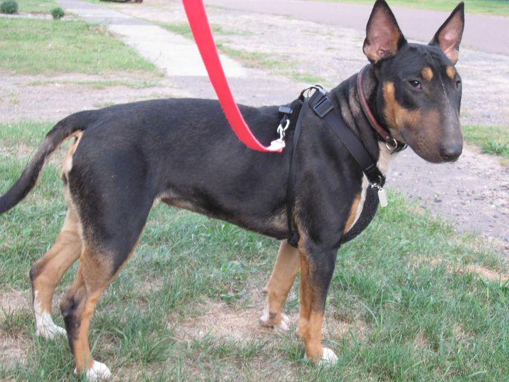 doberman greyhound mix Google Search Pitbull terrier