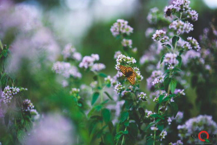 origano fiori