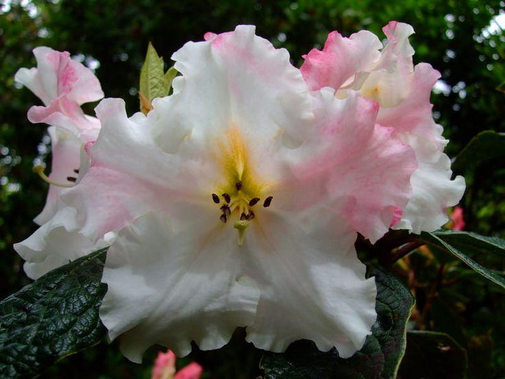 https://flic.kr/p/SngDXb | Rhododendron | www.youtube.com/user/yewmchan/videos