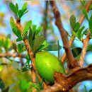 Aceite de argán, propiedades, beneficios y usos ecoagricultor.com