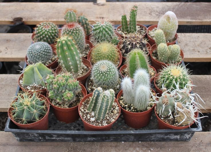 "4"" Assorted Cactus - the succulent store"