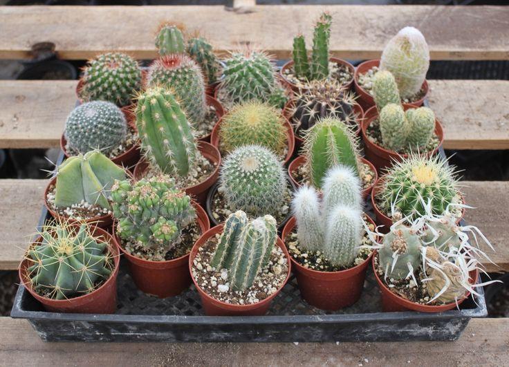 """4"""" Assorted Cactus - the succulent store"""