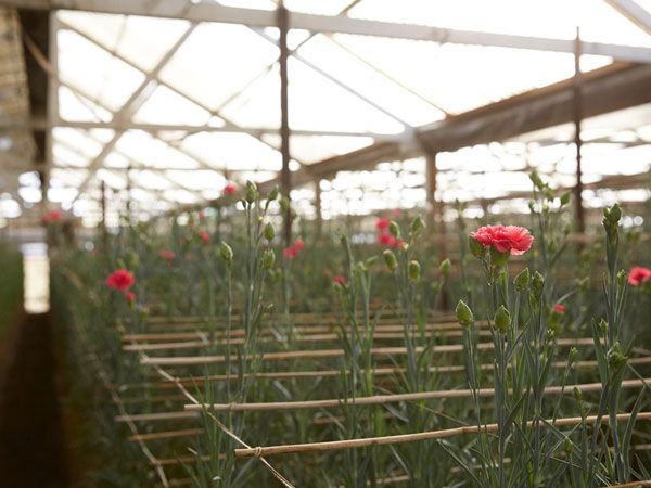 UBLOOM | IS THIS THE END OF CALIFORNIA GROWN CARNATIONS?