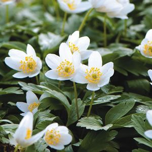 Anemone nemorosa  Nemorosa is a dwarf perennial, also known as a woodland Anemone, it has starry white flowers that will carpet the ground making a beautiful show under deciduous trees. Prefers a part to full shade position. Flowers late spring to early summer.%2...