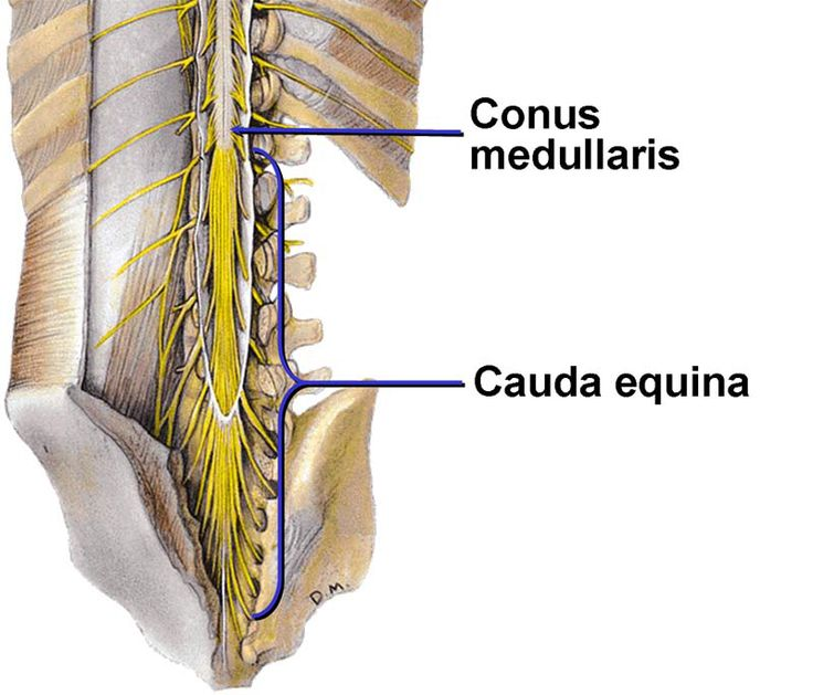 conus medularis & cauda equina | nervous system | pinterest, Human Body