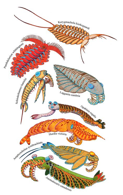 Anomalocaridids! As more and more fossils are unearthed, the diversity of anomalocarids becomes increasingly clear.  Some were the apex predator of their time; others were gentle plankton-skimmers. Some impaled actively swimming prey in the open water; others probed for worms in the mud. There are, however, a few features that unite them all....