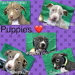 Fort Wayne, Indiana - American Pit Bull Terrier. Meet Puppies, a for adoption. https://www.adoptapet.com/pet/20728319-fort-wayne-indiana-american-pit-bull-terrier-mix