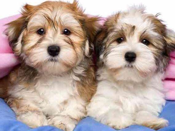 Roxburys Havanese Has Havanese Puppies For Sale In Huntington Station Ny On Akc Puppyfinder Havanese Puppies Havanese Dogs Havanese