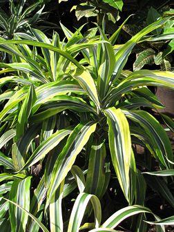 As 72 melhores imagens em jardim plantas t xicas no for Planta venenosa decorativa