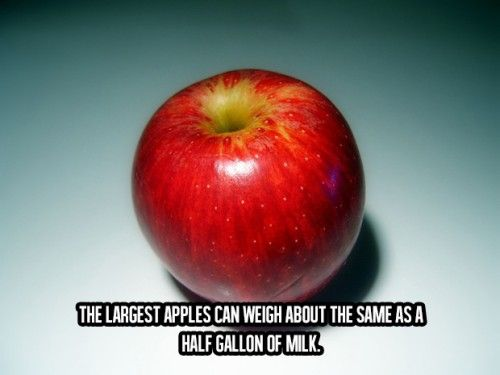Awesome Facts About Life (20) The largest apple can weigh about the same as a half gallon of milk..