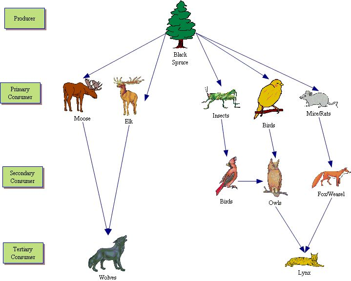 Image result for taiga biome food chain examples   Charts