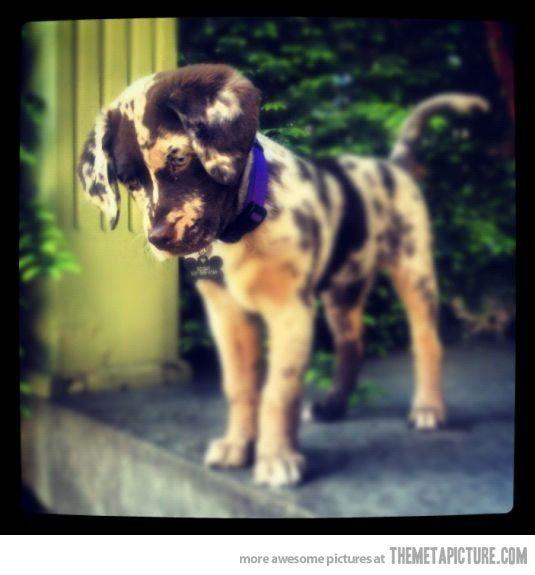 A Chocolate Aussiedor: Chocolate lab   Australia cattle dog…I want one