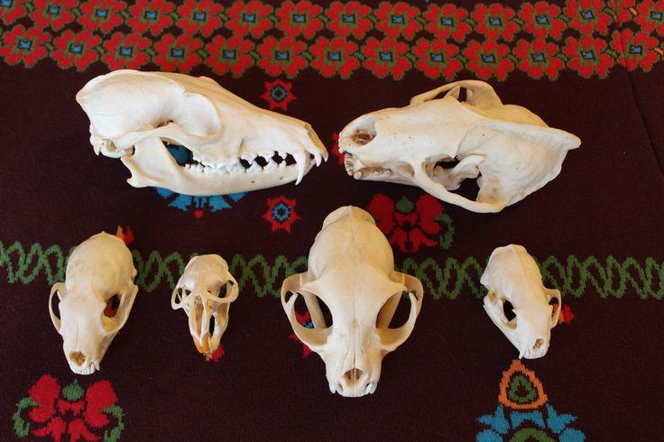 animal skulls, bones