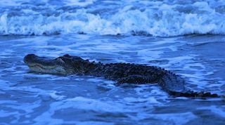 Walkers urged to stay off St. Simons Island beach as big gator swims in surf