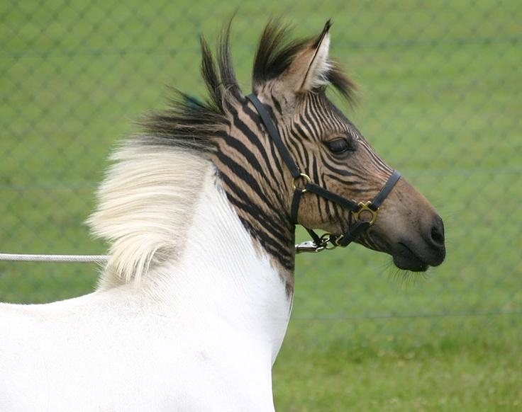 """Eclyse, das wunderschöne, weiße Zebra-Pferdchen mit den beiden großen """"Tigerflecken"""" – seit wenigen Tagen zu Hause im Zoo Safaripark Stukenbrock (Foto von: Safaripark Stukenbrock)"""